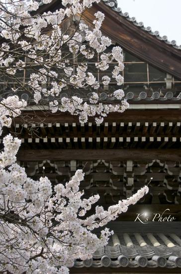 南禅寺の桜.jpg