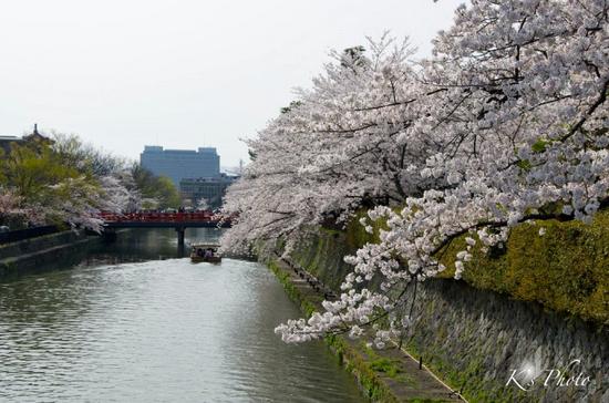 岡崎の桜.jpg