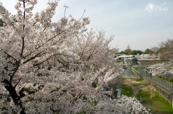 岡崎の桜2.jpg