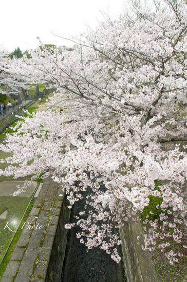 岡崎の桜3.jpg