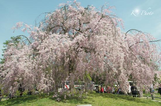 岡崎公園枝垂桜.jpg