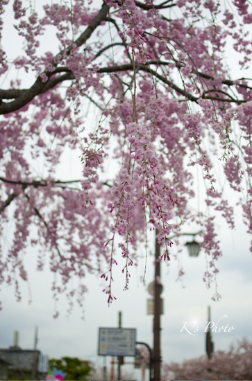 嵐山のしだれ桜.jpg