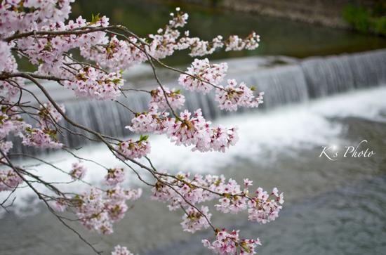 川辺の桜.jpg