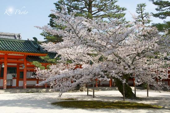 平安神宮の桜2.jpg