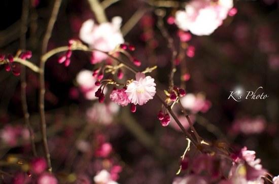 東寺夜桜1.jpg