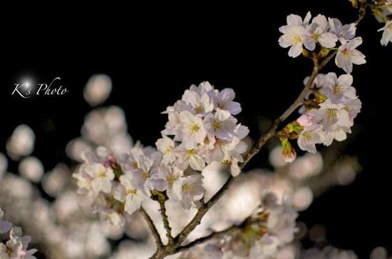 東寺夜桜12.jpg