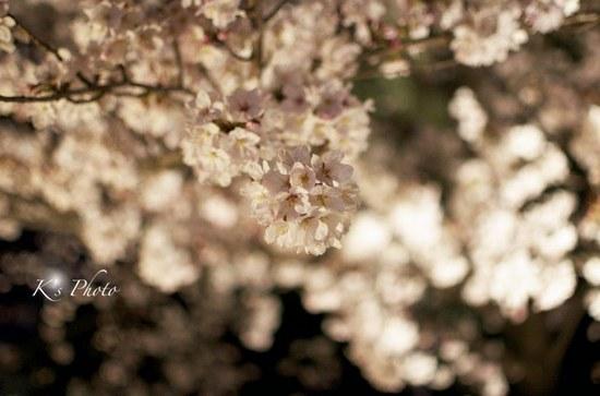 東寺夜桜8.jpg