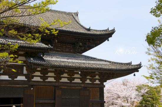 東寺桜1.jpg