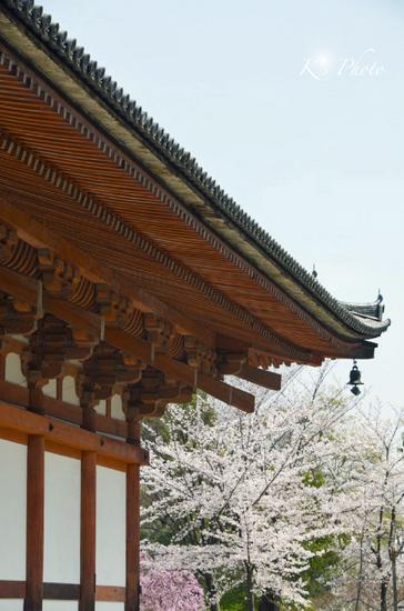 東寺桜3.jpg
