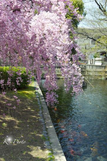 東寺桜7.jpg