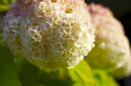 柏葉紫陽花.jpg