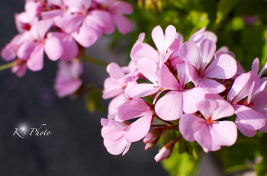 桃色の花.jpg