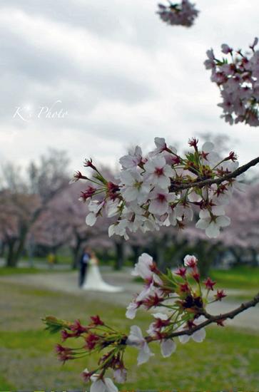 桜と花嫁.jpg