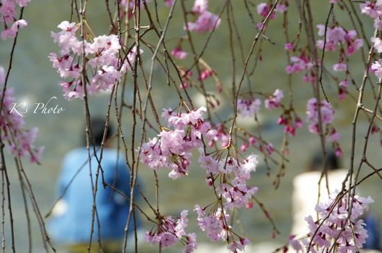 桜ふたり2.jpg