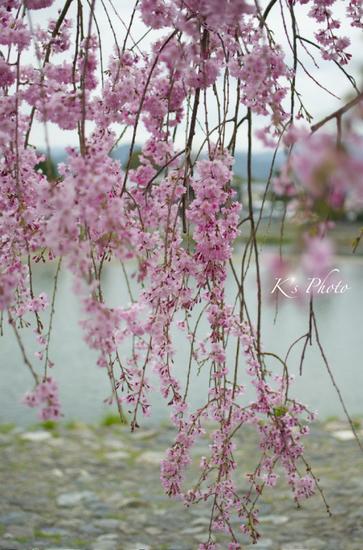 水際のしだれ桜.jpg