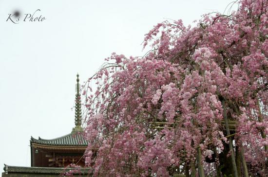 清水寺の桜.jpg