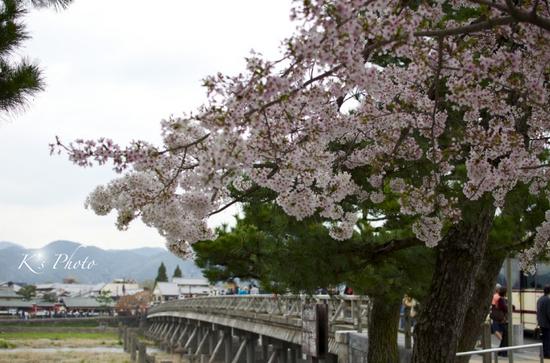 渡月橋の桜.jpg
