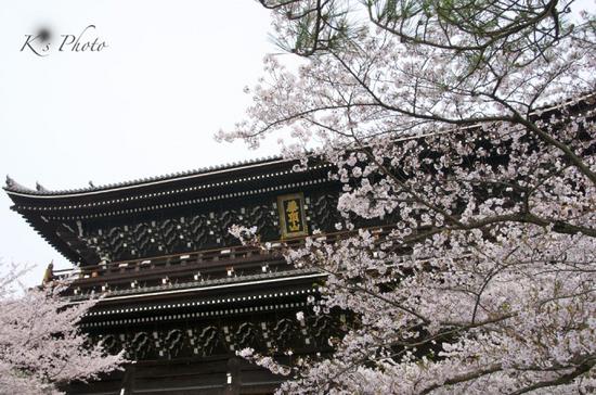 知恩院の桜.jpg