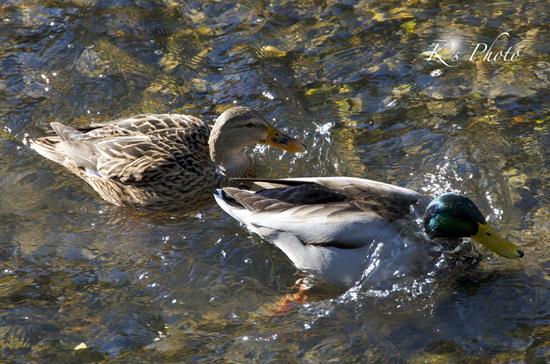 秋の鴨.jpg