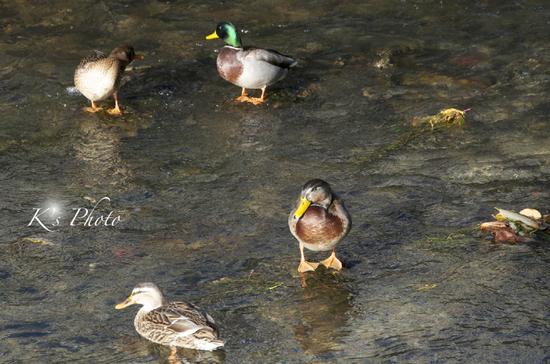 秋の鴨2.jpg
