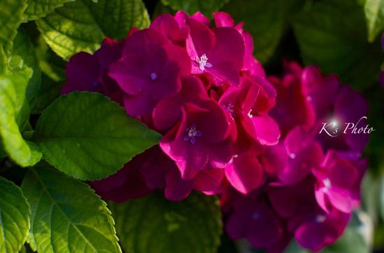 紫陽花 紅.jpg