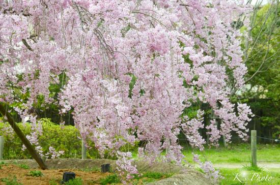 青蓮院門跡の桜.jpg